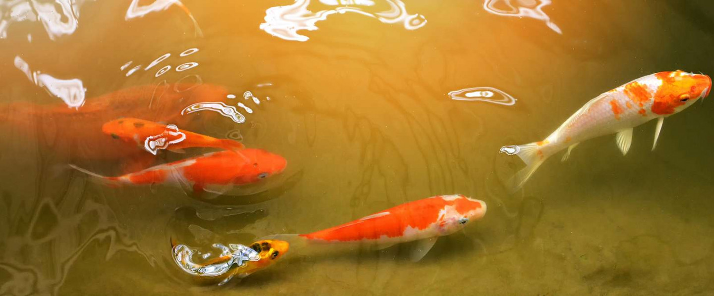 Free Koi Fish with a Spring Pond Clean Out!